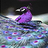 Purple peacock in the zoo slide puzzle